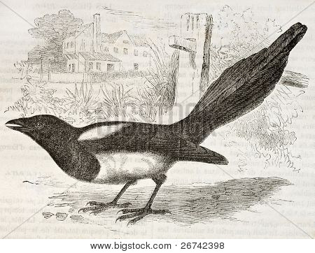 European Magpie old illustration (Pica pica). Created by Kretschmer and Jahrmargt, published on Merveilles de la Nature, Bailliere et fils, Paris, 1878