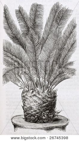 Cycas revoluta old illustration. By unidentified author, published on Magasin Pittoresque, Paris, 1844