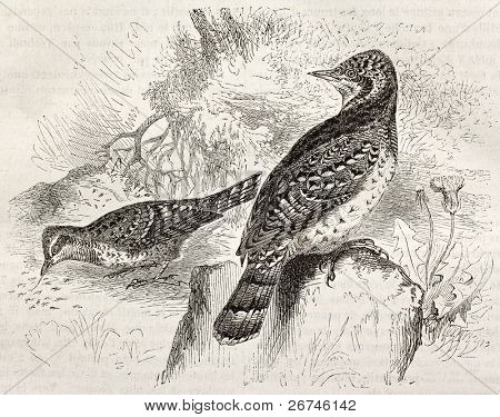 Eurasian Wryneck old illustration (Jinx torquilla). Created by Kretschmer and Schimd, published on Merveilles de la Nature, Bailliere et fils, Paris, ca. 1878