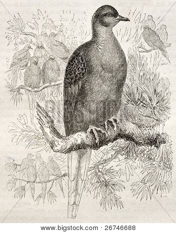 Passenger Pigeon old illustration (Ectopistes migratorius). Created by Kretschmer and Jahrmargt, published on Merveilles de la Nature, Bailliere et fils, Paris, ca. 1878