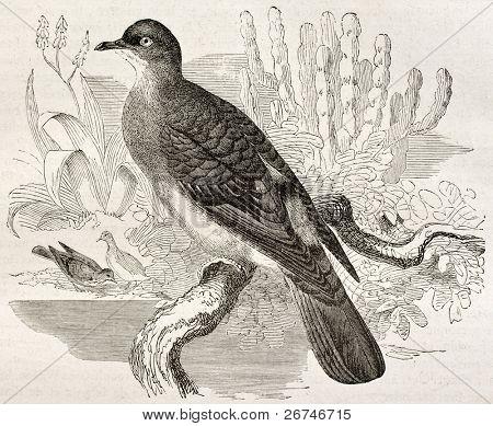Blue-spotted Wood Dove old illustration (Turtur afer). Created by Kretschmer, published on Merveilles de la Nature, Bailliere et fils, Paris, ca. 1878
