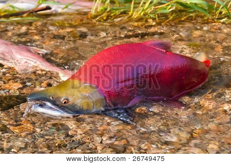 Colorful Spawning Salmon swimming in a shallow creek.