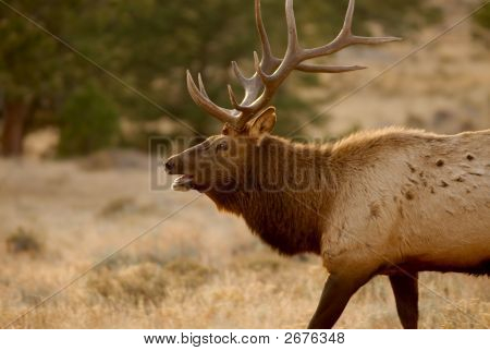 Elks Cry In The Wilderness