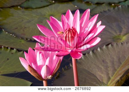 The Bee And Two Lotuses