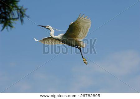 Egrets flight in the sky