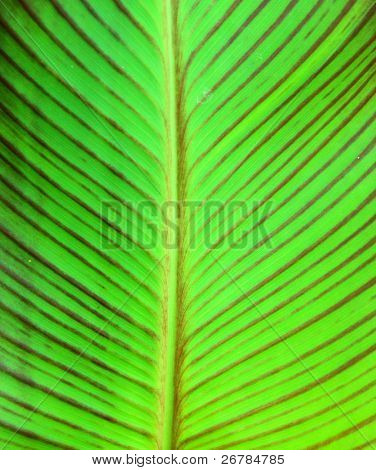 Green leaf with macro venation