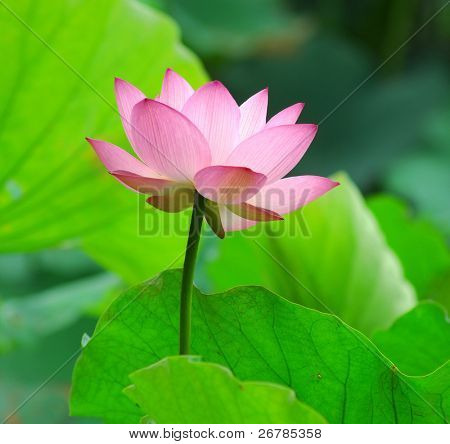 blooming lotus flower over dark background.See more lotus in my portfolio