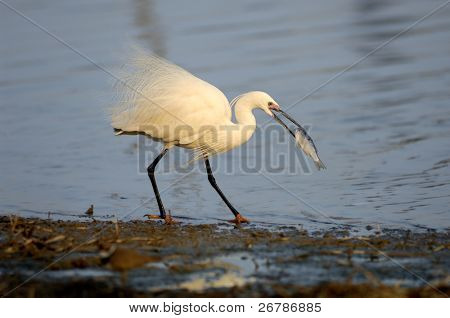 A shot of a Great Egret in the wild
