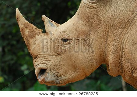 Foto stock: rinoceronte