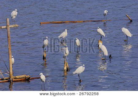 egret bird standing in the water looking for food