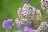 White Flowers. Blooming Flowers. White Phlox On A Green Grass. Garden With Phlox. Garden Flowers. Na poster