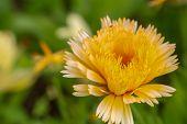 Yellow Calendula Flowers. Blooming Marigold Flowers. Yellow Calendula On A Green Grass. Garden With  poster