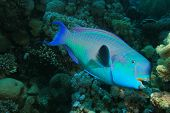 Steepheaded Parrotfish