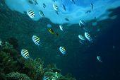 pic of sergeant major  - Shoal of Scissortail Sergeants on a coral reef - JPG