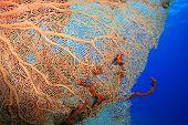 pic of molly  - Gorgonian Fan Coral  - JPG