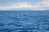 Distant Pilot Whales Swimming In Atlantic Ocean In Front Of Spanish Coastline poster