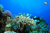 picture of damselfish  - Lionfish hunting damselfish over acropora coral - JPG