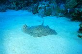 Darkspotted Stingray (Himantura uarnak)