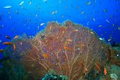 stock photo of molly  - Giant Sea Fan Corals  - JPG