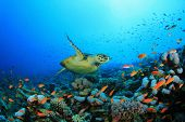 picture of coral reefs  - Hawksbill Sea turtle  - JPG