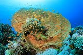picture of molly  - Giant Sea Fan Coral  - JPG