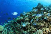 picture of sergeant major  - School of Scissortail Sergeant fish on coral reef - JPG