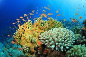 stock photo of fire coral  - Lyretail Anthias fish and Hard Corals on a reef in the Red Sea - JPG