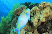 Rusty Parrotfish (Scarus ferrugineus) on coral reef