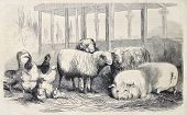 stock photo of farm animals  - Antique illustration of farm animals - JPG