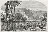 Old illustration of Bombonaxa harvesting, palm straw used to weave Panama hats. Created by Yan'd,  published on L'Illustration Journal Universel, Paris, 1857 poster