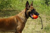 Dog Playing With A Red Ball. Cropped Shot Of A Dog Playing Outdoors. Malinois Dog. Belgian Shepherd  poster