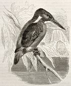 Common Kingfisher old illustration (Alcedo atthis). Created by Kretschmer, published on Merveilles d