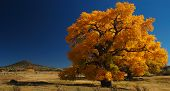stock photo of cottonwood  - Giant Cottonwood tree in fall near north central New Mexico - JPG