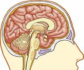 foto of thalamus  - Vector color medical illustration of Human brain - JPG