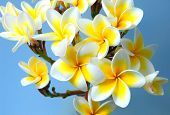 picture of plumeria flower  - frangipani or plumeria tropical flower - JPG