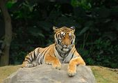 pic of mustering  - tiger - JPG