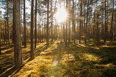 Beautiful Sunset Sunrise Sun Sunshine In Sunny Summer Coniferous Forest. Sunlight Sunbeams Through W poster