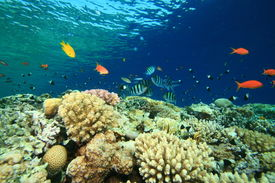 image of sergeant major  - Shallow coral reef with anthias and Sergeant Major fishes - JPG