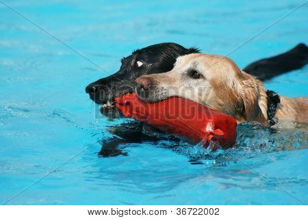 two labs with a pool toy at a public pool