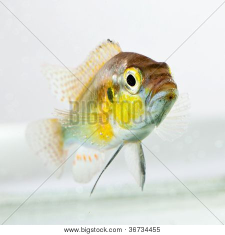 cichlid fish (Geophagus surinamensis) on a white background