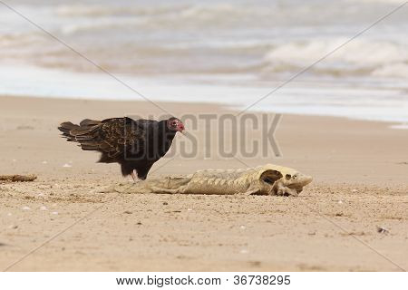 Turkey Vulture Examining Dead Lake Sturgeon
