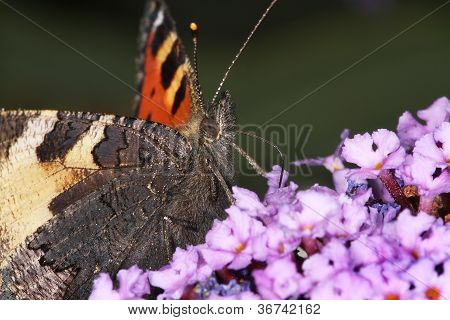 Small Tortoiseshell butterfly feeding.