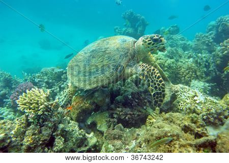 Eating Sea Turtle