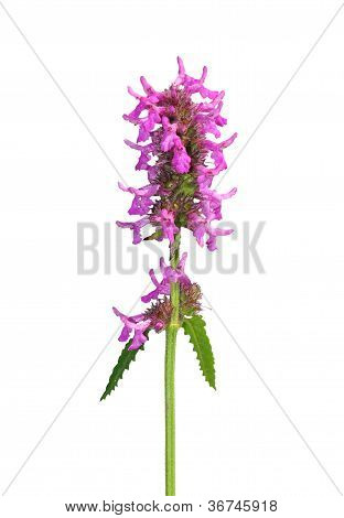 Purple Betony (betonica Officinalis)