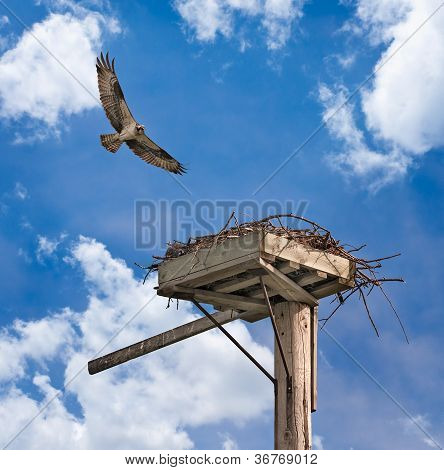 Irritated Adult Osprey (Pandion haliaetus) Flies Over Nesting Platfrom
