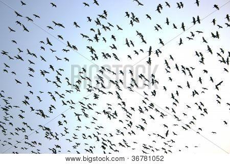 Cranes and pelicanes migrate