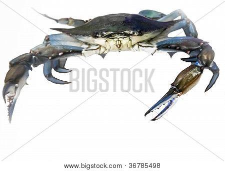 Blue crab scuttles