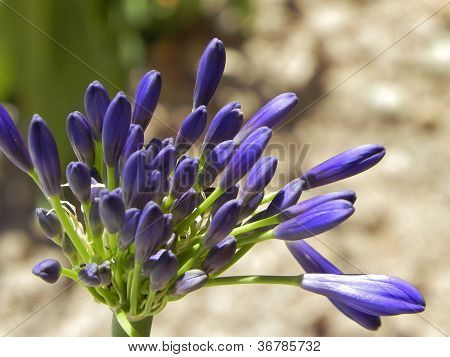 Close up of an agapanthus