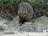 pic of ant-eater  - echidna - JPG
