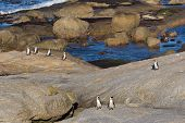 stock photo of jackass  - Group of African or Jackass penguins walking ashore at Boulders Beach South Africa - JPG
